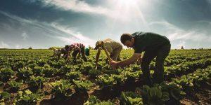 Türk Çiftçisine Yerli ve Milli 3 Yeni Buğday Çeşidi