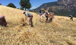 Buğday hasasında geç kalmayın
