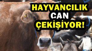 Hayvancılık Sektöründe Et fiyatı yüzde 15 le sınırlı kalırken ,yem fiyatı 100 arttı! Besiciler soruyor!